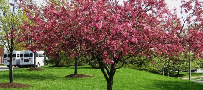 розовая яблоня