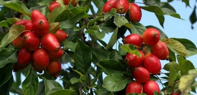 яблок на яблоне
