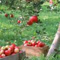 яблоня и яблоки