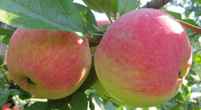 2 больших яблока