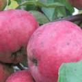 яблоки антей