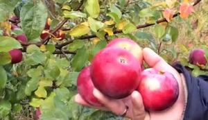 яблоки алеся
