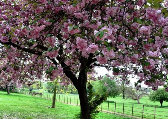 дерево черешни
