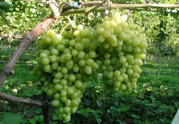 две грозди