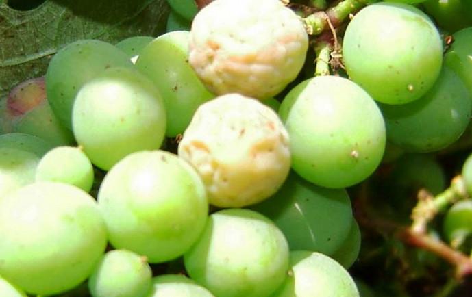 виноград гниет