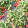 ягоды на клумбе